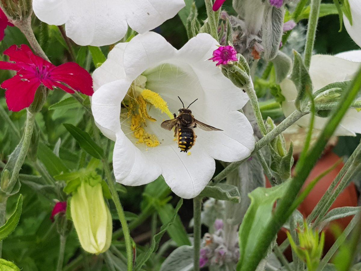 Gartenwollbiene an einer Marienglockenblume